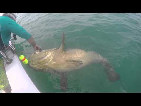 Playing Tug Of War With Goliath Groupers