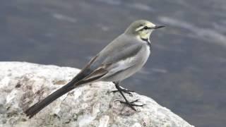 セグロセキレイは九州以北に生息する日本列島の特産種 ハクセキレイは関東以北で繁殖 キセキレイは北海道から九州の川の上流など細い川に...