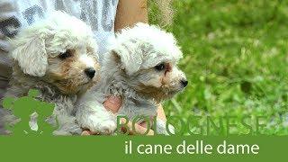 Il Bolognese #cane #Cucciolandia