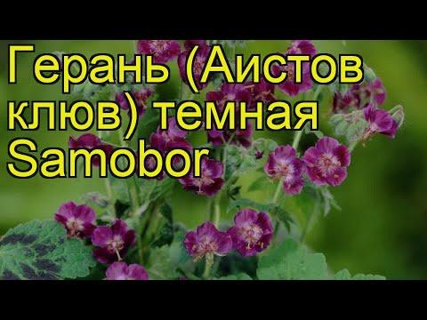 Герань темная Самобор. Краткий обзор, описание характеристик geranium phaeum Samobor