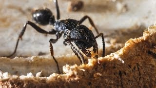 Carpenter Ant Preparation Steps Abell Pest Control - Usa