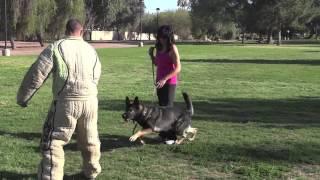 Gsd Protection Dog Arizona