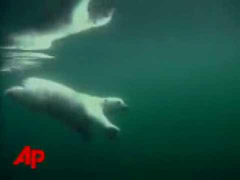 Oil Companies Protected if They Harm Polar Bears