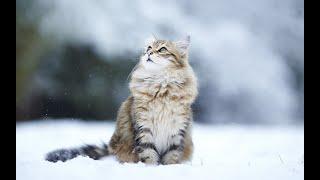 Siberian Cat   Top cat Breeds