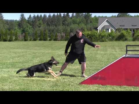 Exciting performance of our 17 month old female black and tan German Shepherd with BH Certification