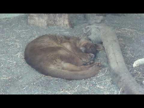 Cute Sleeping Fossa Wakes Up