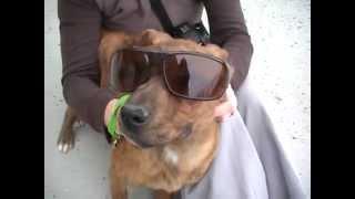 Shar Pei Pit Bull Mix Wearing Sunglasses
