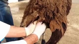 Examen général d'un mouton