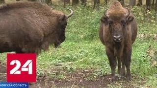 Лесная перепись в Подмосковье: зверей пересчитают по следам - Россия 24