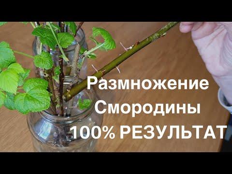 СМОРОДИНА. Как размножить смородину черенками дома! 100% результат.