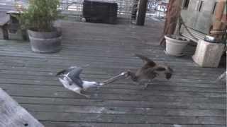 Pelican vs Seagull - Fish Battle