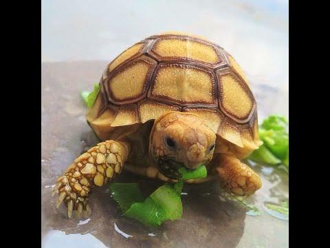 Вопрос: Питомец – сухопутная черепаха, легко ли получить потомство дома?
