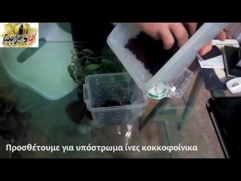 Avicularia Versicolor Set up