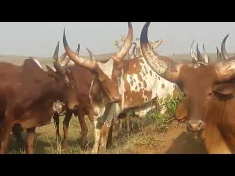 african cows DR Congo