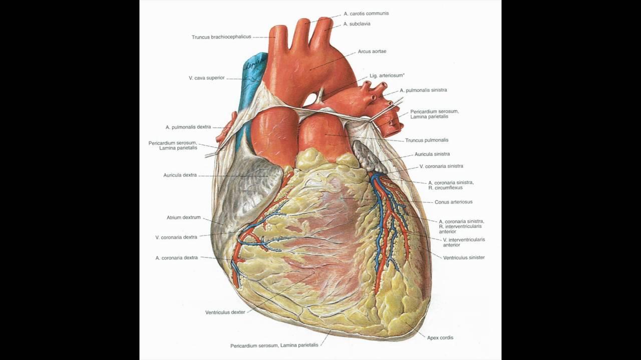 herz anatomie herz anatomie und physiologie - YouTube