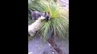 Honey And Coco The Cairn Terriers High On Grass !