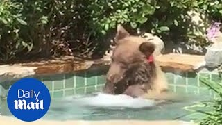 California bear cools off from summer heat in man's hot tub