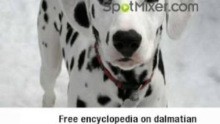 Who Loves Dalmatians