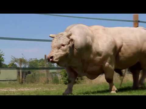 Những con bò to khủng và đẹp nhất ( Clip được tổng hợp trên Youtube )