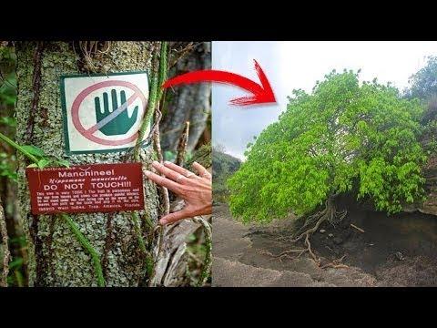 """اخطر شجرة في العالم""""يمكنها قتلك بسهولة عند الاقتراب اليها""""..!!"""