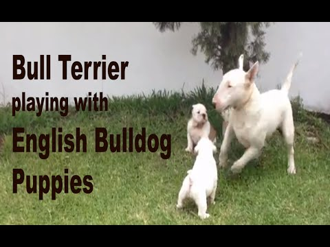 Bull Terrier playing with English Bulldog Puppies