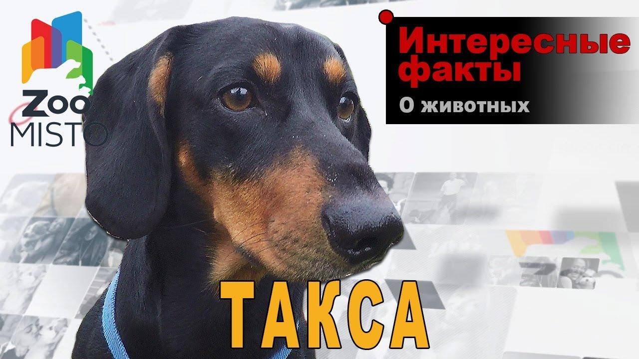 Такса - Интересные факты о породе - YouTube
