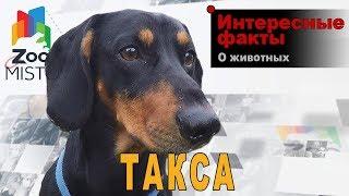 Такса - Интересные факты о породе