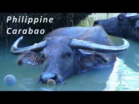 The Philippine Carabao