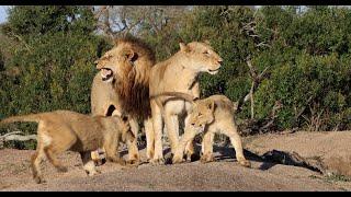 Tintswalo Males Rejoin the Mbiri Pride