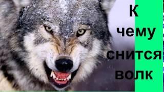 К чему снится волк.Сонник от Ирины