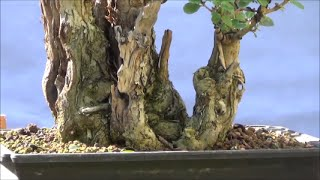 Video Bonsai - How to create a more stunning Privet bonsai tree from a hedge for free - 2nd Privet Part 1 download MP3, 3GP, MP4, WEBM, AVI, FLV Desember 2017