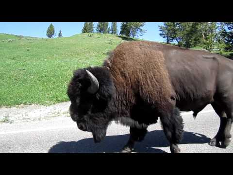 Yellowstone Bison walking down the street.