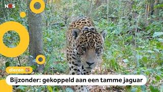 Wilde jaguar Qaramta krijgt hulp met paren