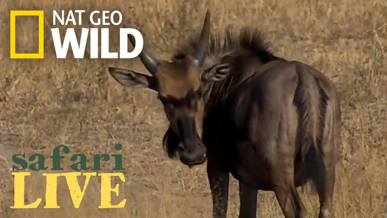 Safari Live - Day 181   Nat Geo Wild