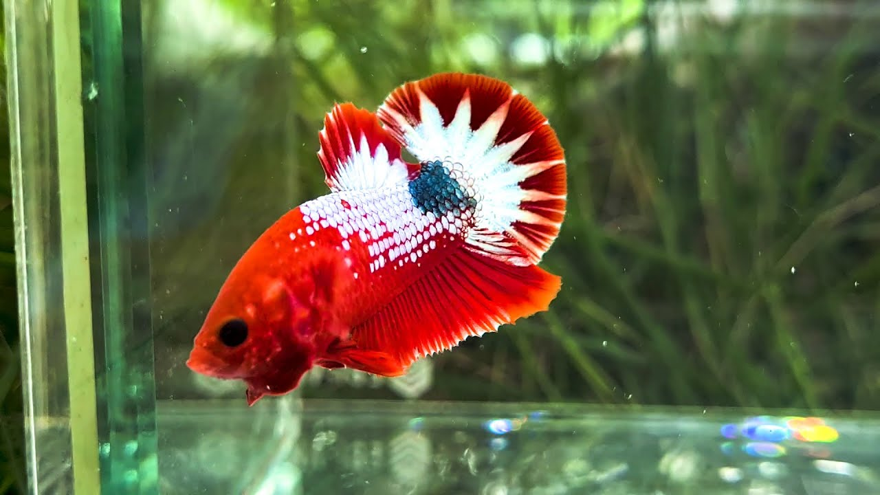 Betta Copper Red, Copper Yellow, Galaxy, Samurai, Black Blue