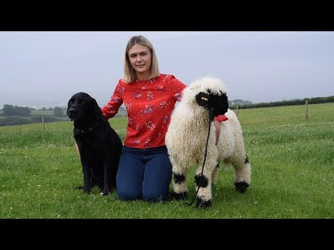Fluffy Sheep Acts Like Pet Dog