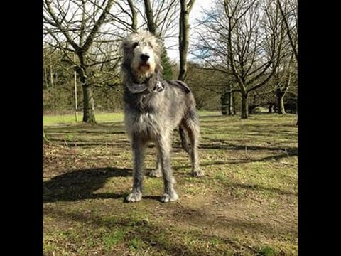 animals Irish Wolfhound Dog