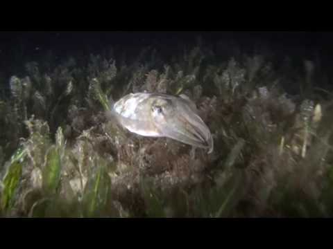 Night Diving in Camp Cove, Sydney Harbour, Australia
