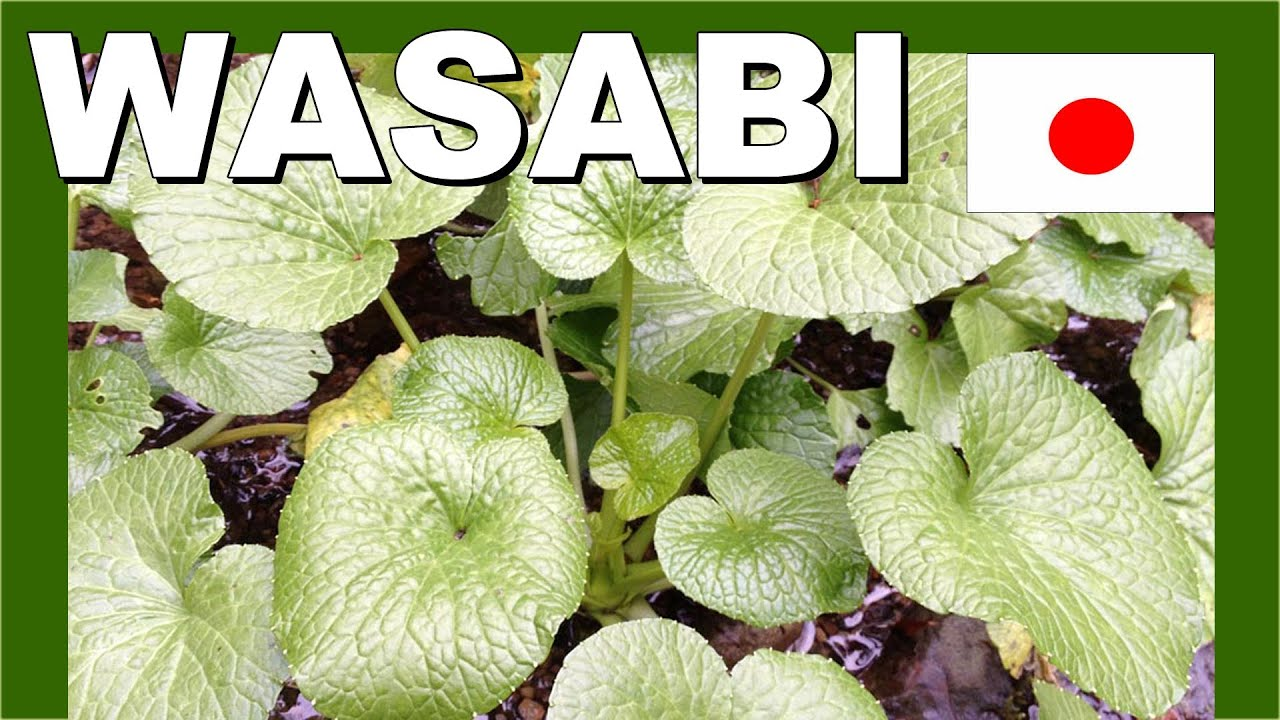 How to Grow Wasabi: 14 Steps (with Pictures) - wikiHow