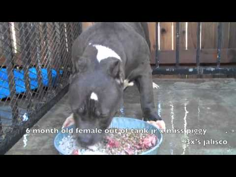 how to feed your new blueline american bully - YouTube