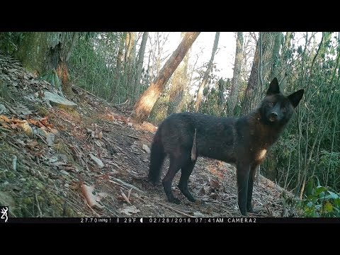 NC Wildlife: Rare black Coyote at my trail cam; Hendersonville, NC.