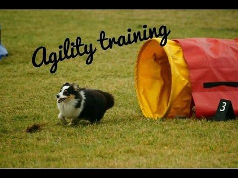 Agility training - Sheltie Airin   14.10. 2016