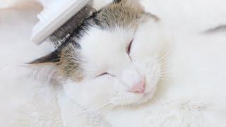 ブラッシング初体験の子ねこ。-Kitten Miri experiences brushing for the first time.-