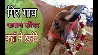 कैसे करें गिर गाय की पहचान   कहाँ मिलेगी गिर गाय   Gir Cow Full Information