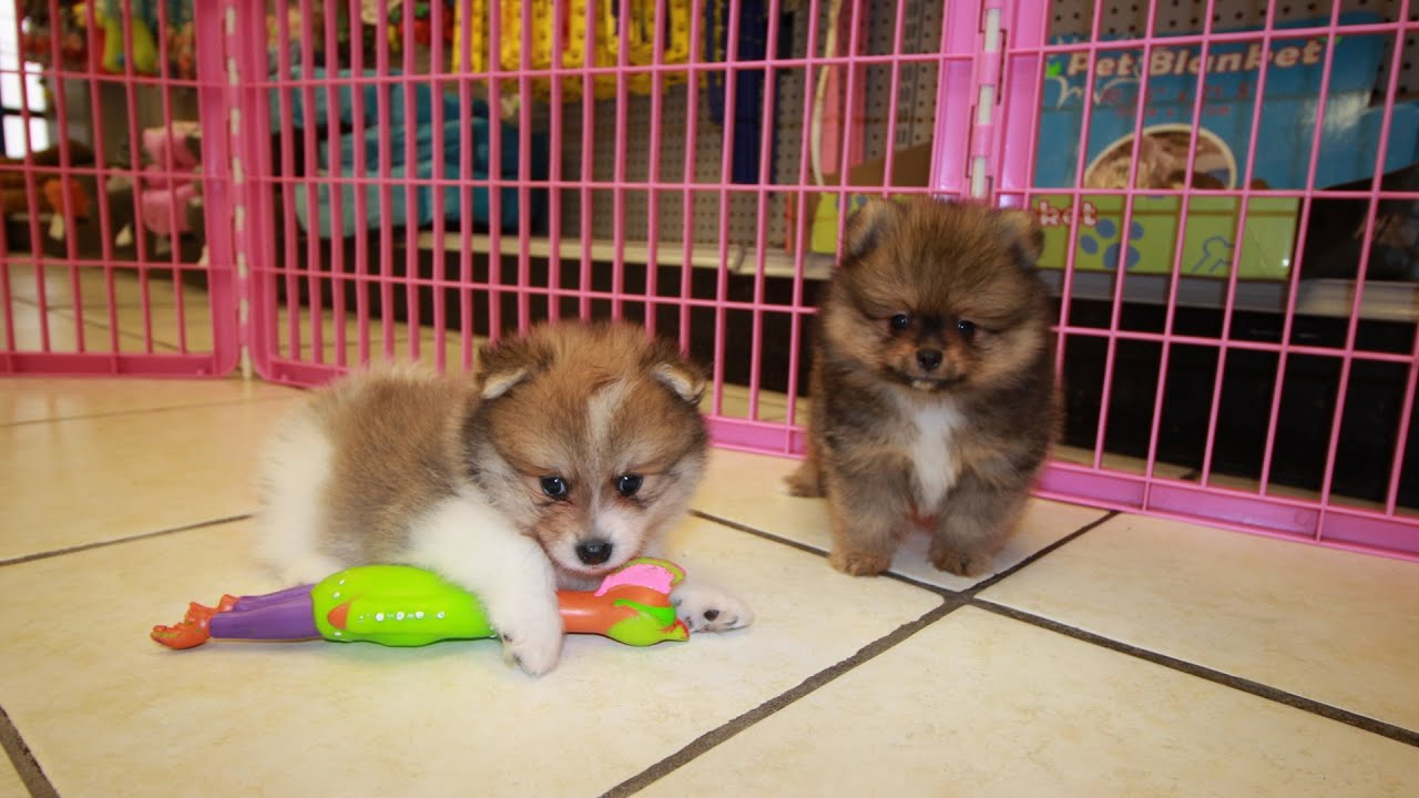 Pomeranian, Puppies For Sale, In Nashville, Tennessee, TN, 19Breeders,  Clarksville, Bartlett