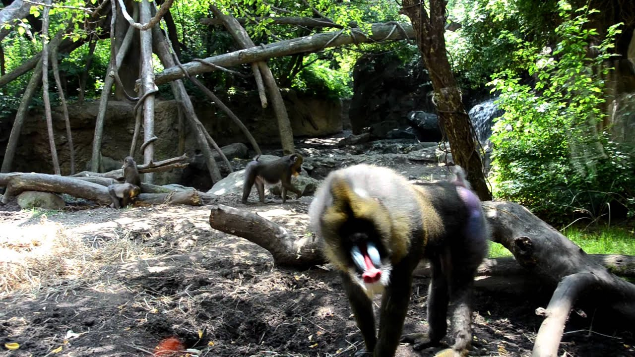 Baboon Show Lady His Assmov - Youtube-7081