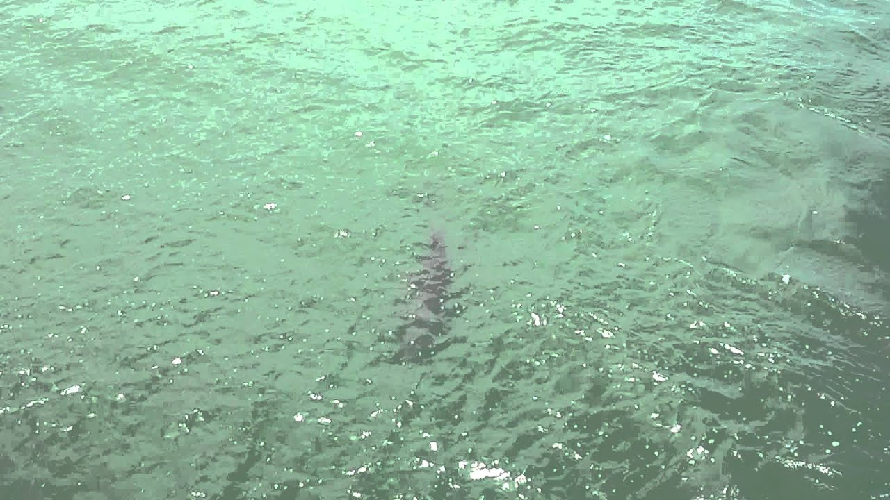 Dolphin fishing at gulf pier fort desoto park youtube for Fort desoto fishing pier
