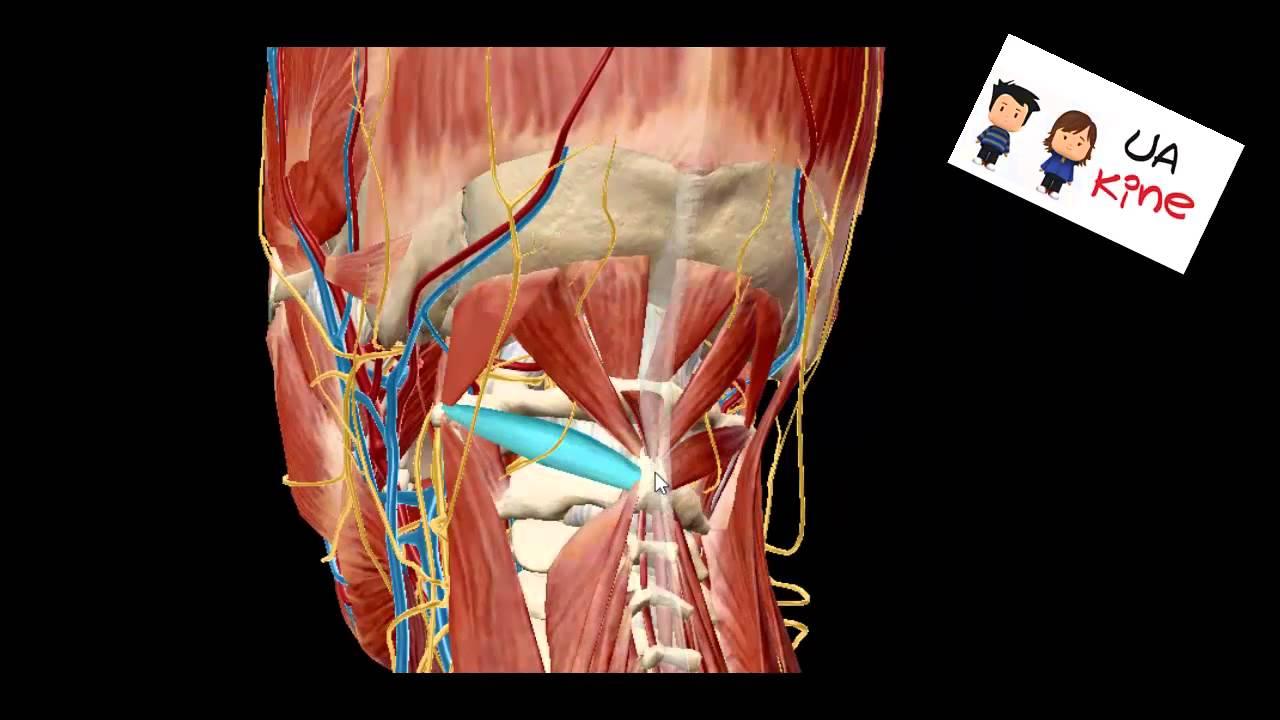 Anatomia Músculos Suboccipitales, Origen Inserción Inervación y ...