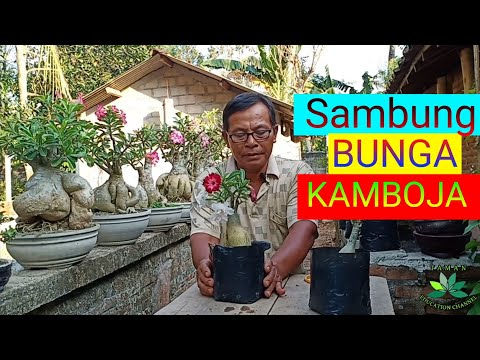 Cara Menyambung Bunga Kamboja Jepang Adenium Obesium Youtube