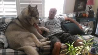 飼い主も困惑しかねないほど大きく育った犬たちをご紹介します。 切り株...